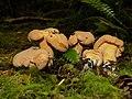 Cantharellus roseocanus group 759825.jpg