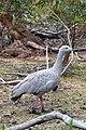 Cape barren goose Cereopsis novaehollandiae (8264933037).jpg