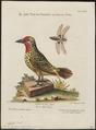 Capito erythrocephalus - 1700-1880 - Print - Iconographia Zoologica - Special Collections University of Amsterdam - UBA01 IZ18800099.tif