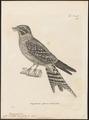 Caprimulgus torquatus - 1700-1880 - Print - Iconographia Zoologica - Special Collections University of Amsterdam - UBA01 IZ16700051.tif