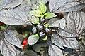 Capsicum annuum Black Pearl 7zz.jpg