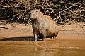 Capybara (Hydrochoerus hydrochaeris) (29027075252).jpg