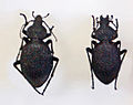 Carabidae - Carabus gigas.JPG