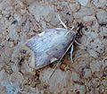 Carcina quercana - Flickr - gailhampshire (4).jpg
