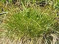 Carex davalliana.JPG