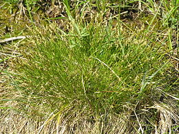 Carex davalliana.JPG