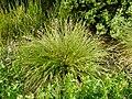 Carex paniculata plant (30).jpg