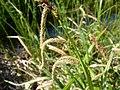 Carex pendula inflorescens (6).jpg