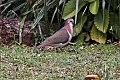 Caribbean Dove (Leptotila jamaicensis) (8082126278).jpg