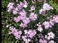Carnations, Kesselbach.jpg