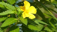 File:Carpenter Bee Yellow Alder Plant.webm