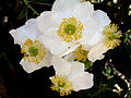Carpenteria californica (289237170).jpg