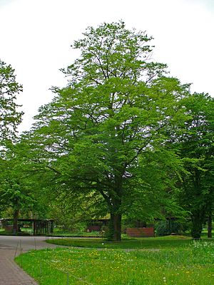 Hornbeam - A European Hornbeam in Germany, during May