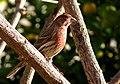 Carpodacus mexicanus 2.jpg
