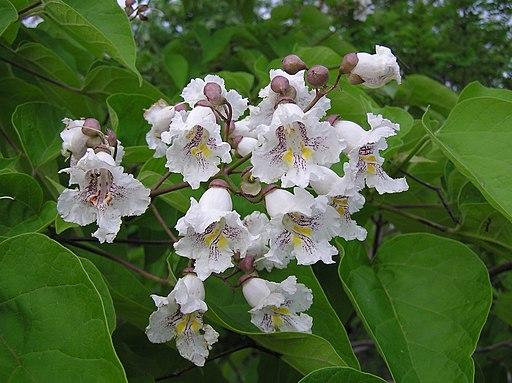 Catalpa bignonioides inflorescence