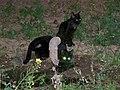 Cats (Shiraz, Iran) (28057095553).jpg
