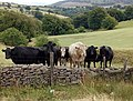 Cattle in Wales.jpg
