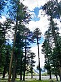 Cedrus deodara in Ushu Forest 2018-05-03.jpg