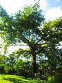 Ceiba típica de la flora de Huehuetla, Puebla 01.JPG