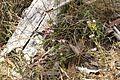 Centaurium erythraea (24273180896).jpg