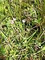 Centaurium pulchellum sl23.jpg