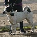 Central Asian Shepherd white & black 2.jpg