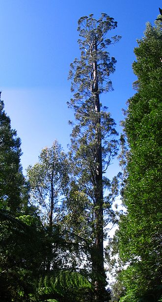 Centurion (tree) - A photo of Centurion taken in April 2009
