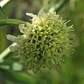 Cephalaria alpina 2 RF.jpg