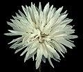 Cephalipterum drummondii - Flickr - Kevin Thiele.jpg