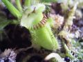 "cephalotus follicularis giants myth or reality The cephalotus follicularis, also known as the australian pitcher plant or the   on bob ziemer's website: cephalotus follicularis giant forms: ""myth or reality."