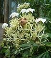 Cerbera manghas BotGardBln07122011A.jpg
