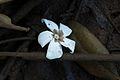 Cerbera odollum - IMG 1471.jpg