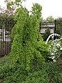 Cercidiphyllum japonicum full 2.jpeg