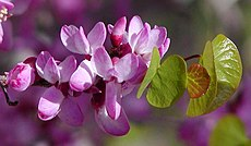 Cercis occidentalis flowers.jpg