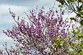 Cercis siliquastrum - Erguvan - Judas tree 02.jpg