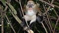 Cercopithecus mona, Boabeng Fiema, Monkey Sanctuary, Ghana.JPG