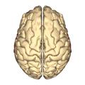 Cerebrum - superior temporal gyrus - superior.png