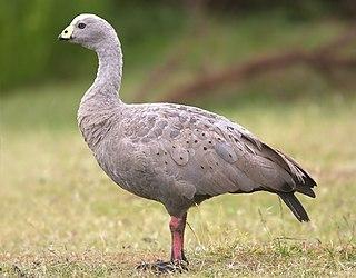 Cape Barren goose species of bird