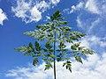 Chaerophyllum bulbosum sl19.jpg