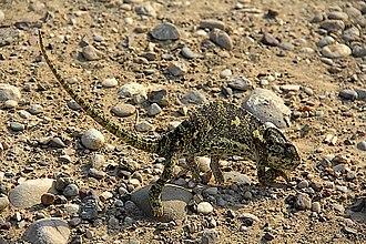 Common chameleon - Image: Chamaeleo chamaeleon pm 1