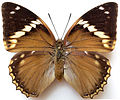 Charaxes bipunctatus femelle.jpg
