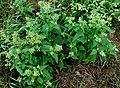 Chenopodium hybridum plant (13).jpg