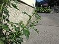 Chenopodium murale sl49.jpg