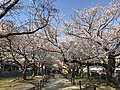 Cherry blossoms near Zasshonokuma Station 20190401-2.jpg