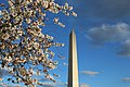 Cherry blossoms on the Washington Monument grounds (da130071-c467-43c7-a758-fb46a51359ad).jpg