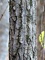 Chestnut Oak (31075560335).jpg