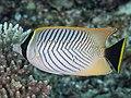 Chevroned butterflyfish (Chaetodon trifascialis) (43543353291).jpg