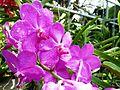 Chiang Mai Orchids P1110365.JPG