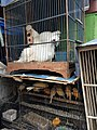 Chickens and other birds for sale at Jatinegara Market.jpg