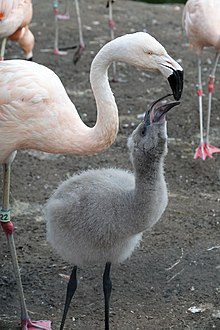Chilean Flamingo Feeding Its Young